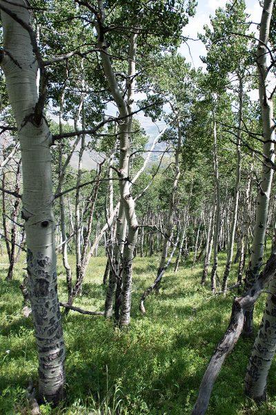 Drowsy Water Ranch aspen forest